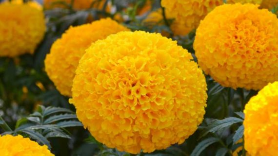 French Marigold Double Yellow seeds
