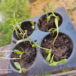 Germination Tray with seedling